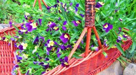 Heartsease Wallpaper Free
