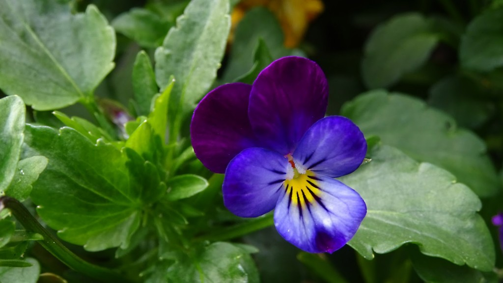 Heartsease wallpapers HD