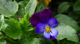 Heartsease Wallpaper Full HD