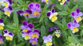 Heartsease Wallpaper Gallery