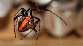 Latrodectus Hasselti Best Wallpaper