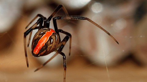Latrodectus Hasselti wallpapers high quality