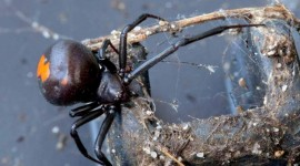 Latrodectus Hasselti Photo Download#1