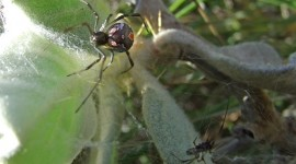Latrodectus Hasselti Photo Download#2