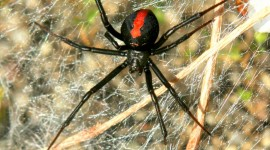 Latrodectus Hasselti Photo Free