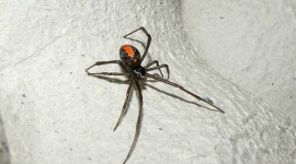 Latrodectus Hasselti Photo Free#1