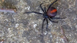 Latrodectus Hasselti Photo#1