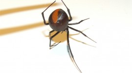 Latrodectus Hasselti Wallpaper Download
