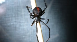 Latrodectus Hasselti Wallpaper For Desktop