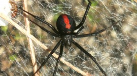 Latrodectus Hasselti Wallpaper For IPhone