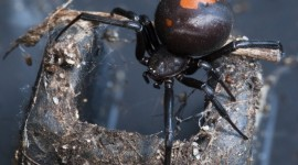Latrodectus Hasselti Wallpaper For PC