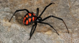 Latrodectus Hasselti Wallpaper Gallery