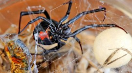 Latrodectus Hasselti Wallpaper HQ