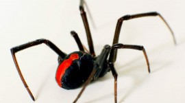 Latrodectus Hasselti Wallpaper HQ#1