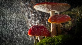 Mushrooms In The Rain Photo Free