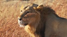 Panthera Leo Persica Photo Free