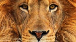 Panthera Leo Persica Wallpaper For IPhone