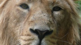 Panthera Leo Persica Wallpaper For Mobile#1