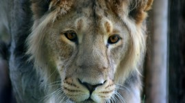 Panthera Leo Persica Wallpaper Free