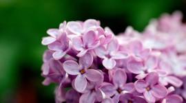 Purple Flowers Desktop Wallpaper For PC