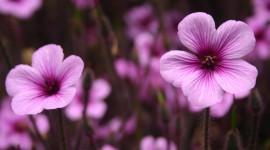 Purple Flowers Desktop Wallpaper Free