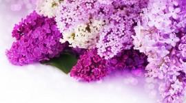 Purple Flowers Desktop Wallpaper HD