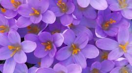 Purple Flowers Desktop Wallpaper HQ