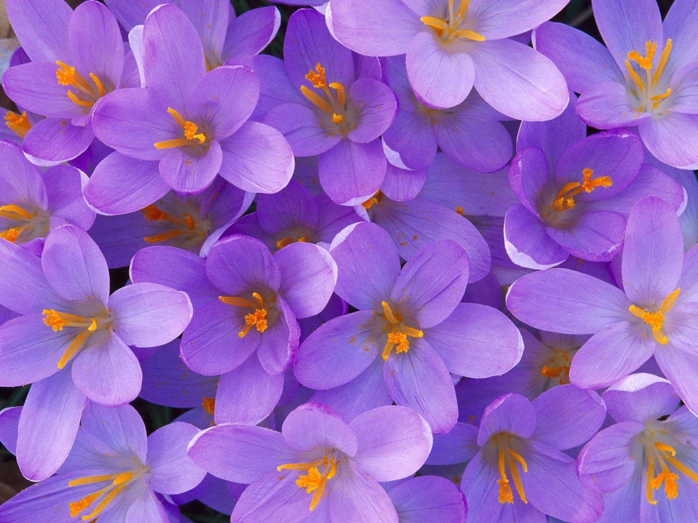 Purple flowers wallpapers high quality download free purple flowers desktop wallpaper hq mightylinksfo