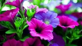 Purple Flowers Wallpaper 1080p