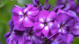 Purple Flowers Wallpaper Download