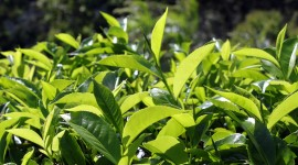 Tea Leaves Wallpaper For Desktop