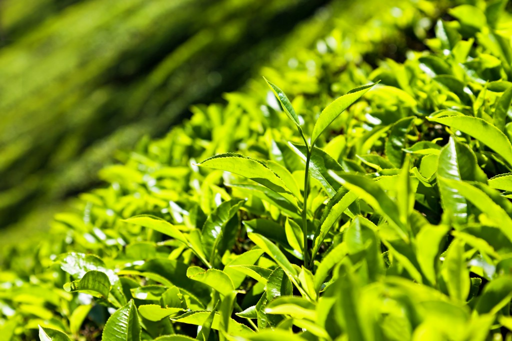 Tea Leaves wallpapers HD