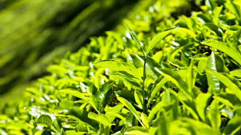 Tea Leaves wallpapers high quality