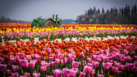 Tulips Farms wallpapers high quality