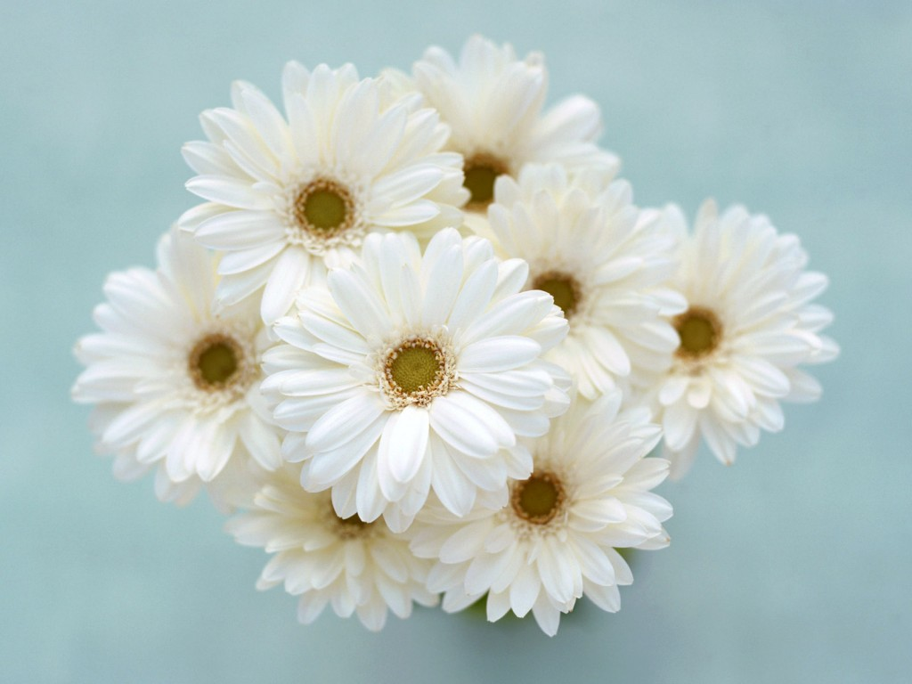 White Flowers wallpapers HD