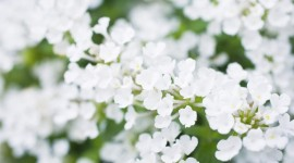 White Flowers Wallpaper Gallery