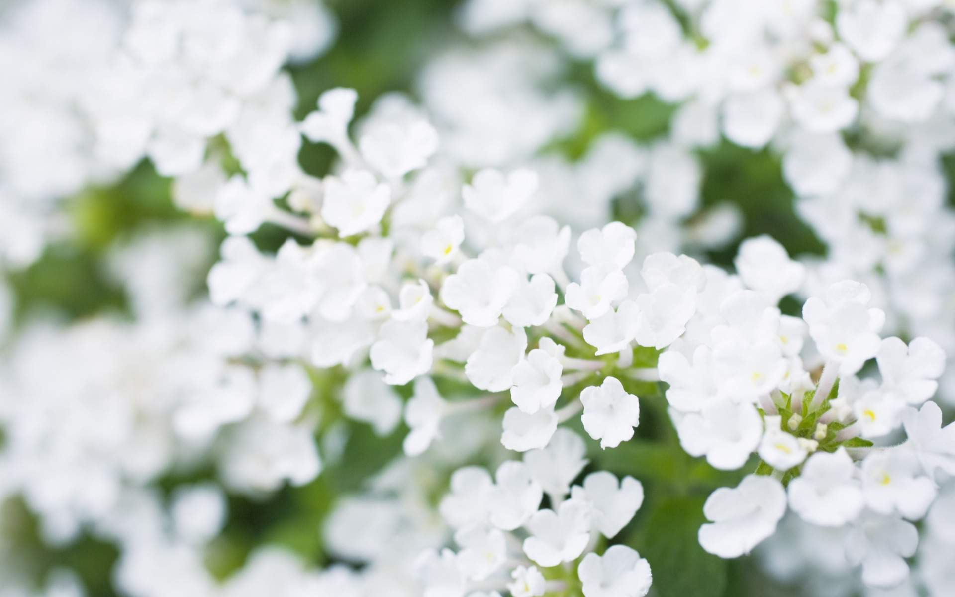 White Flowers Wallpapers High Quality Download Free