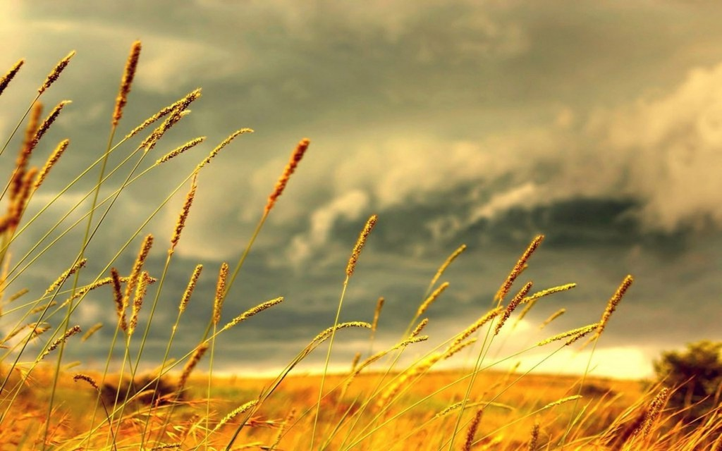 Yellow Grass wallpapers HD