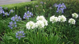 Agapanthus Best Wallpaper