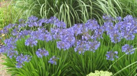 Agapanthus Desktop Wallpaper For PC