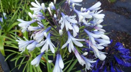 Agapanthus Desktop Wallpaper Free