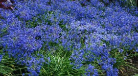 Agapanthus High Quality Wallpaper