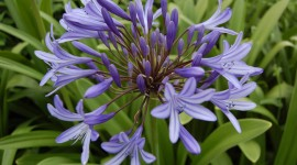 Agapanthus Wallpaper
