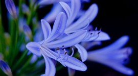 Agapanthus Wallpaper Background