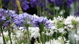 Agapanthus Wallpaper Download