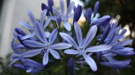 Agapanthus Wallpaper Download Free