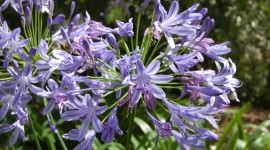 Agapanthus Wallpaper For Desktop
