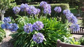 Agapanthus Wallpaper Full HD