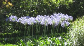 Agapanthus Wallpaper High Definition