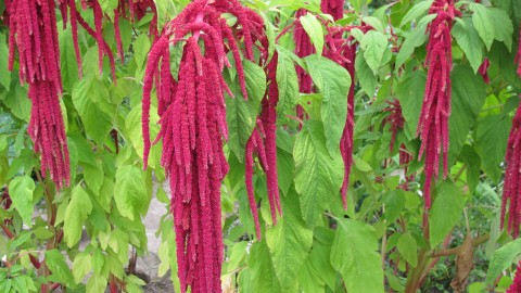 Amaranthus wallpapers high quality